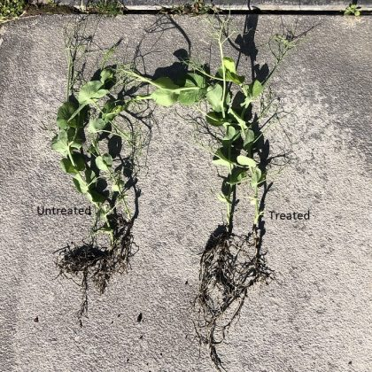 Pea Roots Treated and Untreated