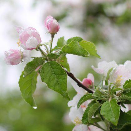 apple-flowers-blossom