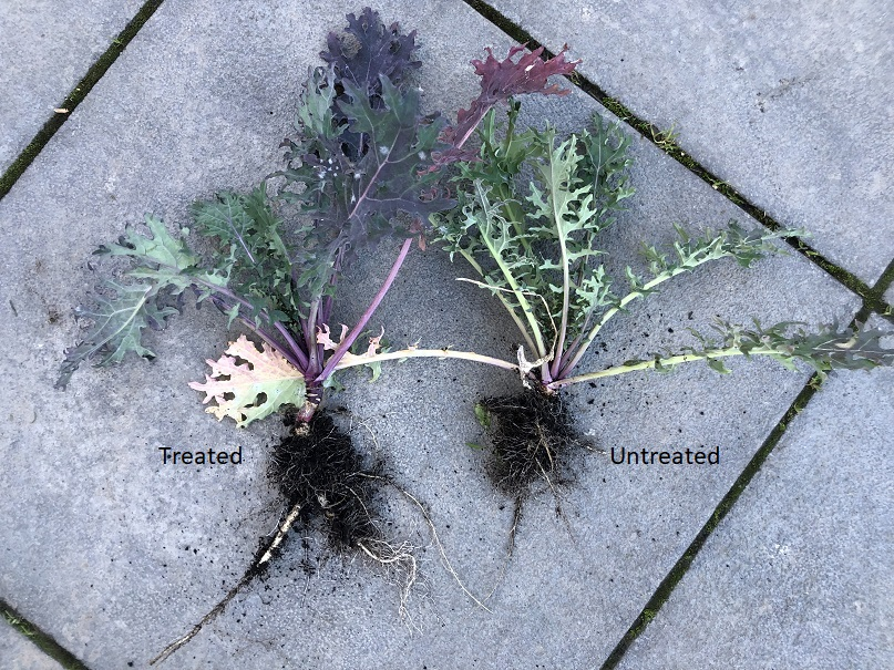 Kale roots Treated and Untreated