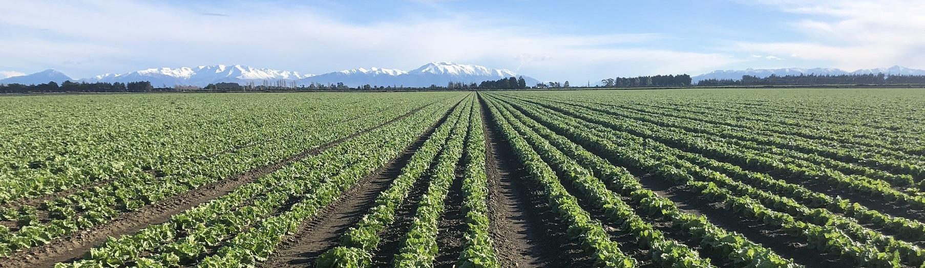Lettuces-and-Mountains-landscape